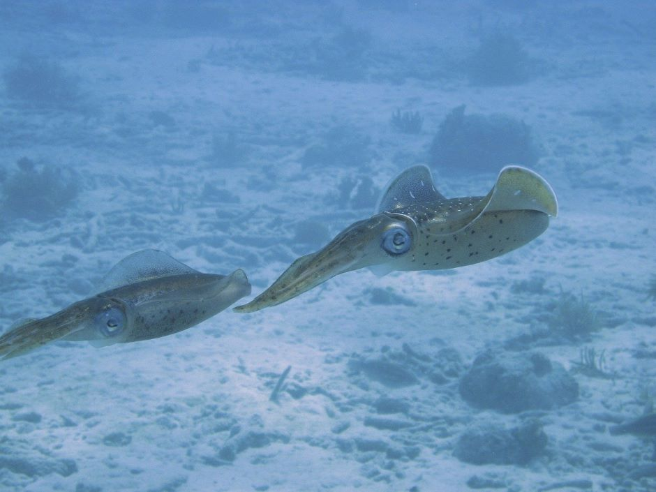 Untethered squid robot could help study coral reefs