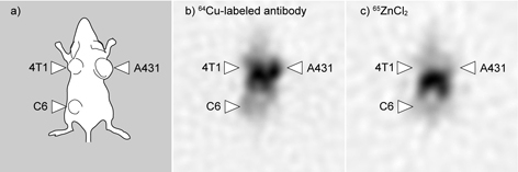 The results of the imaging experiment on a tumour-bearing mouse, a) localization of the three lines of tumour cells, b) localization of the labelled antibody c) localization of Zn-containing injected radioactive agent