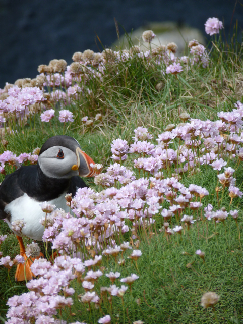 One of Shetland's many Puffins