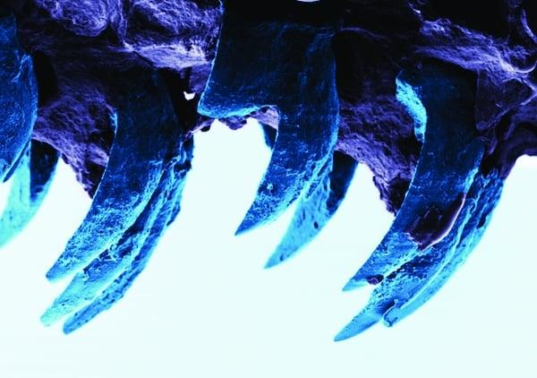 /o/c/v/TE_Limpet_teeth.jpg
