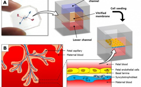 US researchers have developed a 'Placenta-on-a-chip' micro device