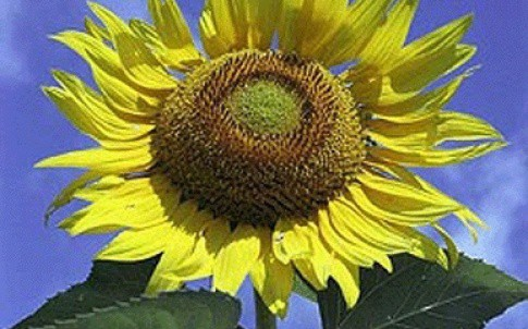 /d/u/n/TE_Sunflower_poor.jpg