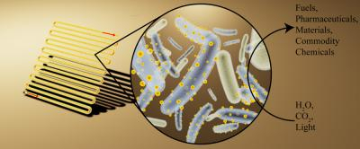 Bacteria covered in semiconductor nanoparticles